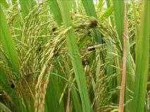Baiclean- prevention of rice false smut